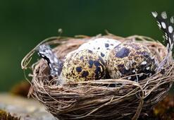 Bıldırcın Yumurtasının Faydaları Nelerdir Bıldırcın Yumurtası Neye İyi Gelir