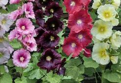 Hatmi Çiçeği Faydaları Nelerdir Hatmi Çiçeği Yağı Ve Çayı Neye İyi Gelir