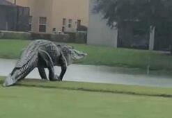 Devasa timsah Floridadaki golf sahasına girdi