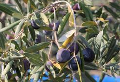 Hatayda zeytin verimi azaldı, kalite arttı