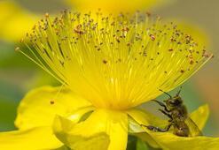 Sarı Kantaron Yağı Faydaları Nelerdir Sarı Kantaron Çayı Neye İyi Gelir