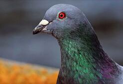 Belçikada 1,6 milyon euroya güvercin satıldı