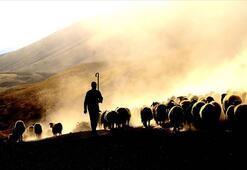 Sürü büyütmeye ve çoban istihdamına 239,5 milyon lira destek