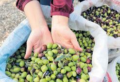 Marmaris'in zeytinleri tanıtıma katkı koyuyor