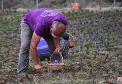 Muğlada sezonun ilk safran hasadı yapıldı