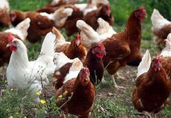 Kuş gribi yayılıyor: 146 bin tavuk itlaf edilecek