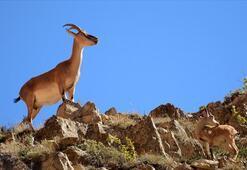 Tarım ve Orman Bakanlığınca 79 yaban hayvanı doğaya salındı