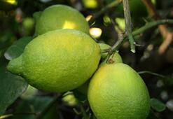 Mersinde Lamas limonu hasadına başlandı