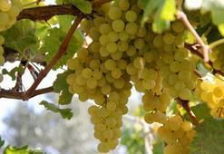 İznikin Müşküle üzümünün üretimi artırılacak