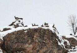 Tuncelide yaban keçisi avı yapılmasının söz konusu olmadığı açıklandı