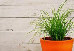 Bitkilerde Ve Çiçeklerde Pamuklanma Neden Olur, Nasıl Geçer