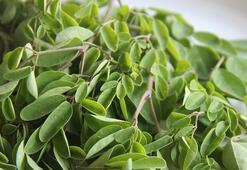 Moringa Çayının Faydaları Ve Zararları Nelerdir Moringa Çayı Nasıl Tüketilir