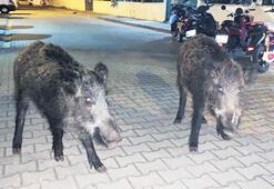 Kente inen domuzlar vatandaşı korkutuyor