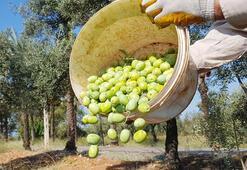 İklim değişikliği zeytini vurdu Tahmini kayıp 145 bin ton