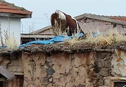 Aksarayda ahırın damına çıkan inek kurtarıldı
