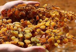 Salgına rağmen kuru üzüm ihracatı 500 milyon doları aştı