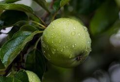 Acı Elma Yağı Faydaları Ve Zararları Nelerdir Acı Elma Yağının Cilde Ve Saça Etkileri