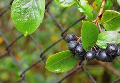 Aronya Çayının Faydaları Ve Zararları Nelerdir Aronya Meyvesi Çayı Zayıflatır Mı