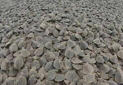 Amazon Nehrinde kaplumbağa seli
