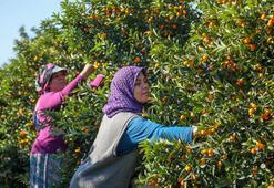 Antalyanın altın portakalı kamkatın hasadı başladı