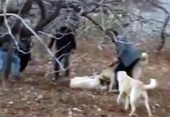 Kısıtlamayı ihlal edip, köpek dövüştürenlere ceza