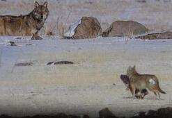 Karsta aç kalan kurtlar yerleşim yerlerinde yiyecek aradı