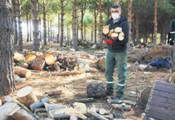 Budanan ağaçlar, dar gelirliye yakacak oldu
