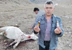 Amasya'da iki yılkı atı silahla vurulmuş halde bulundu