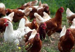 Kuş gribi nedeniyle Danimarkada binlerce kümes hayvanı öldürülecek