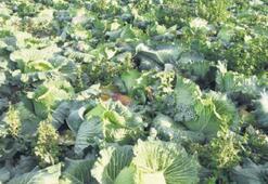 Doğal ilaç lahana