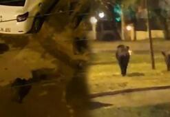 Yaban domuzları İzmir merkezine indi