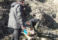 Tuncelide 8 yaban keçisi telef olmuş halde bulundu