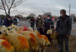 Aksarayda koyunları telef olan aileye Valilik 33 koyun hediye etti