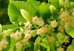 Ihlamurlar çiçek açtığı zaman şiiri - Bahattin Karakoç