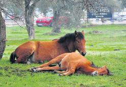 Yılkı atları şehirde