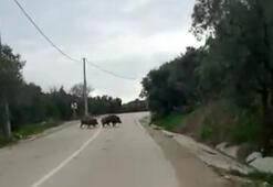 Yolda biranda karşılarına domuz sürüsü çıktı