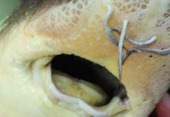Nesli yok olma tehdidi altındaki Mersin balığı böyle yetiştiriliyor