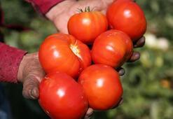 Türkiyenin domates ihracatı arttı