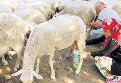 Koyun sütünde verimi artıracak proje başladı