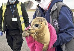 Ağır yaralı yavru foku kurtarma operasyonu