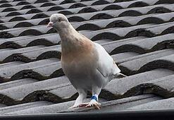 Avustralya ABDden gelen güvercini öldürmeyi planlıyor