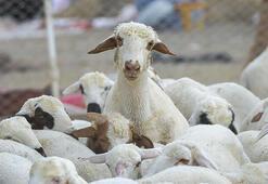 Keçi ve koyun çobanlığı hizmeti alınacak