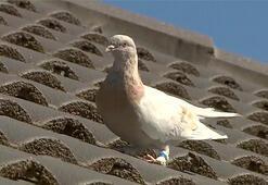 Dünya, Pasifiki geçip ABDden Avustralyaya uçan güvercini konuşuyor