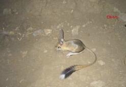 Nesli tehlike altında olduğu değerlendirilen arap tavşanı, Şırnakta görüntülendi