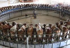 Türkiyenin en büyüğü Günde 80 ton süt elde ediliyor