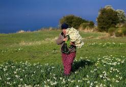 Karaburun Yarımadasında yetiştirilen nergis çiçeği rağbet görüyor