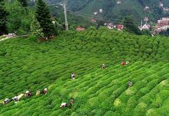 Rize, 2020de çay ihracatından 8,9 milyon dolar kazandı