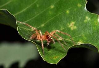 Prof.Dr.Hakan Demir: Sarı kız isimli örümcek zehirsiz