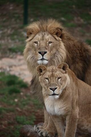 Cumhurbaşkanına hediye edilen aslanlar