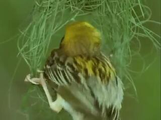 Kuş yuvasını böyle yapıyor